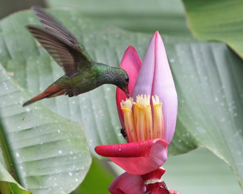 Panama bird   ... hummingbird volcan panama rufous tailed hummingbird volcan panama