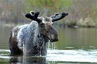 Maine Bull Moose in velvet - Wildlife Viewing Moosehead Lake Region - Moose outnumber the people 3:1