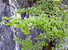 Fuscospora gunnii - Wikipedia