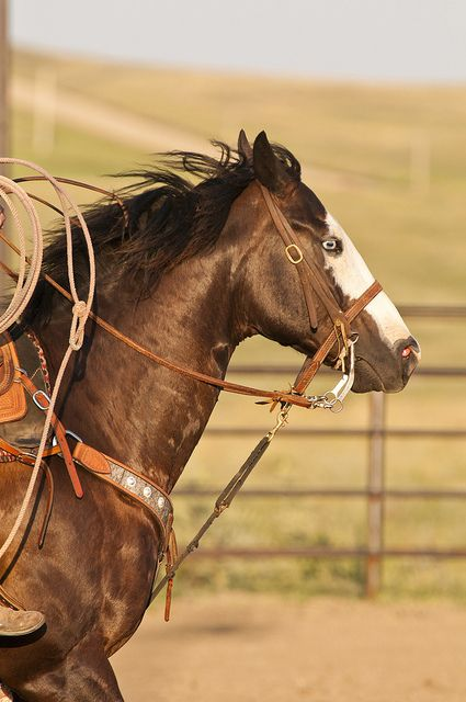 Roping Horse by DRMiddleton on Flickr.