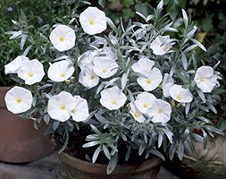 The Silverbush (Convolvulus cneorum) is an evergreen shrub with unusual silver-grey foliage. The flower buds are pink and open intio saucer-shaped pure white flowers with a yellow centre in summer.