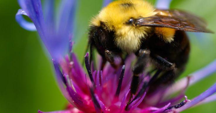 Abejas grandes que cavan en el suelo. Las abejas que cavan en el suelo suelen ser llamadas abejas mineras, excavadoras o suele decirse que hacen nidos en la tierra. Algunas razas anidan en hoyos ya hechos por animales pequeños, mientras otras las cavan ellas mismas como refugios para sus crías. Contrario a las abejas sociales que viven en panales, las verdaderas abejas mineras son ...