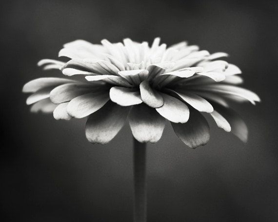 Black and White Photography - floral photography flower photograph monochromatic black white wall art print nature - 11x14, 8x10 Photograph