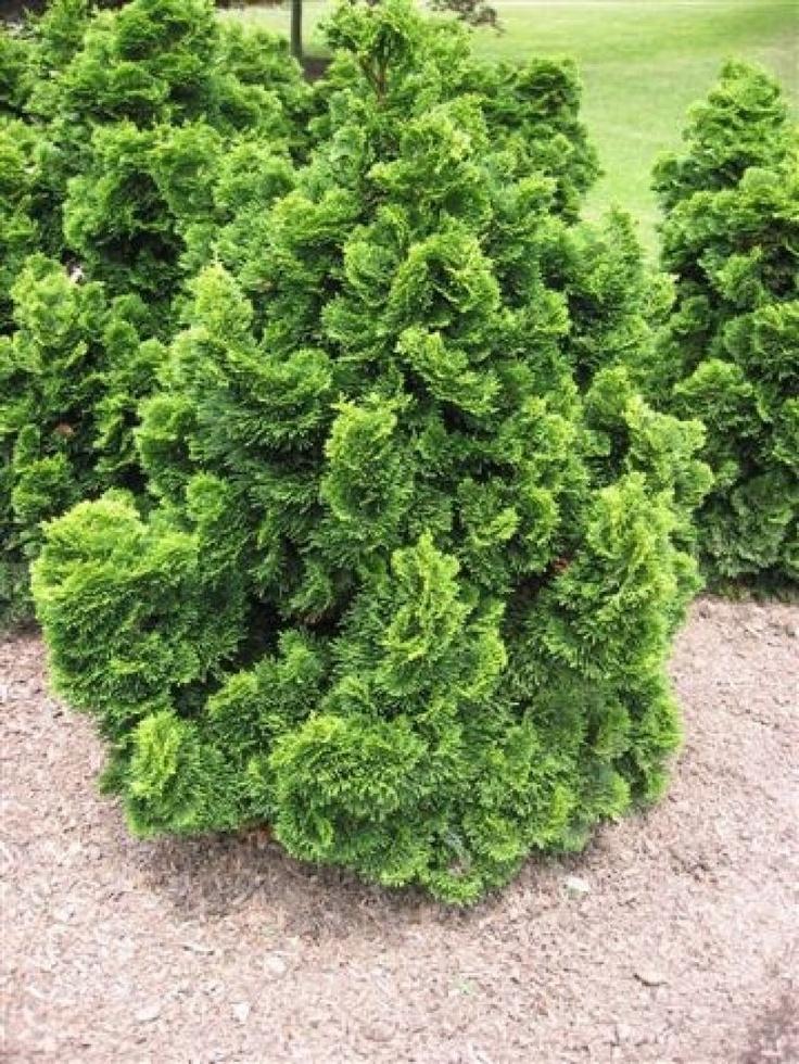 chamaecyparis obtusa nana privacy hedge pinterest. Black Bedroom Furniture Sets. Home Design Ideas