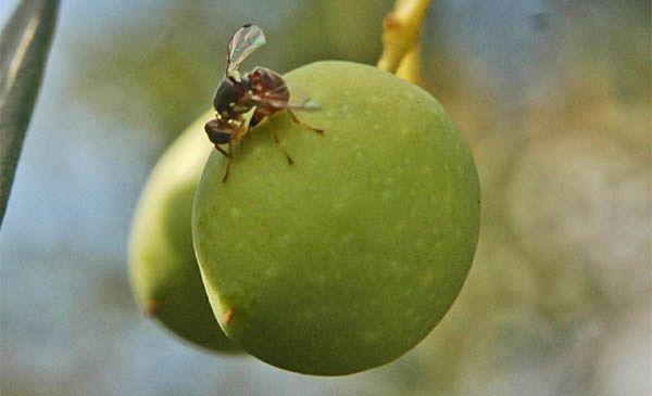 Umbriadomani: la mosca olearia si sconfigge con le uova