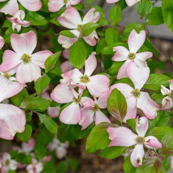 Ein Wunderschoner Vertreter Seiner Art Ist Der Amerikanische Blumen Hartriegel Cornus Florida Seine Grossen Bluten Offnen Sich In Blumen Tom Garten Pflanzen
