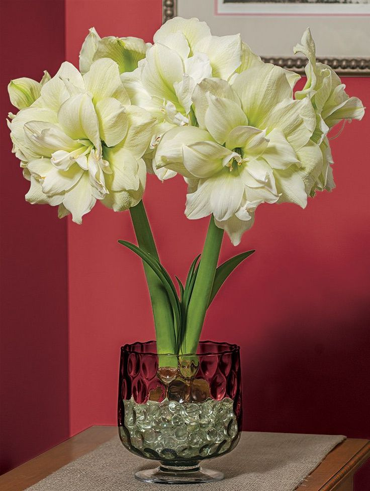 32 best amaryllis images on pinterest cut flowers for Vase amaryllis