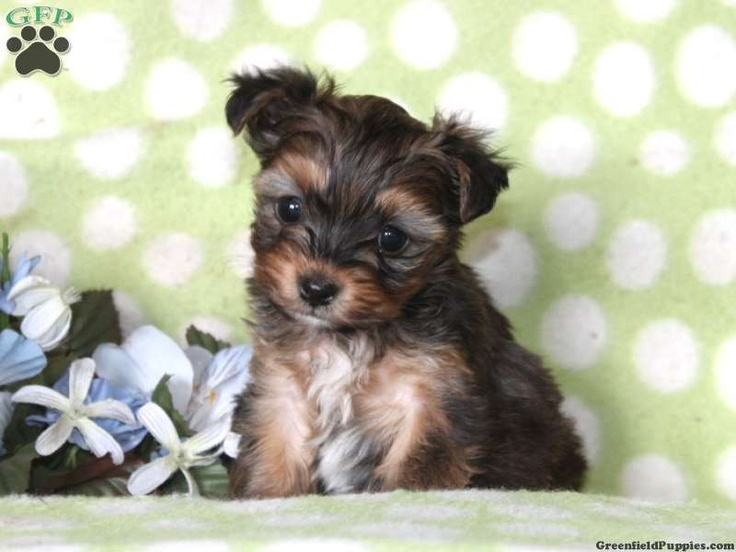 yorkie poo puppies for sale in pa 115 best images about yorkie mix puppies for sale on 9679