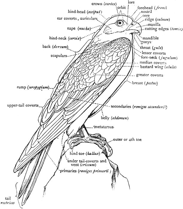 falcon bird body parts diagram