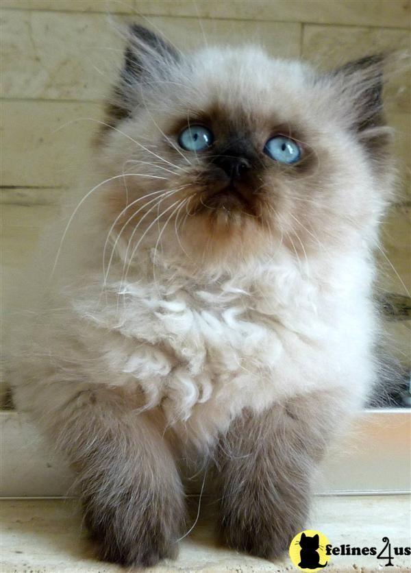 Adorable Himalayan Kitten Pictures Ideas Most Affectionate Cat Breeds Hayvan Yavrulari Yavru Kediler