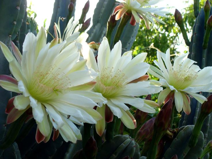 Night blooming cactus Cereus peruvianus montrose