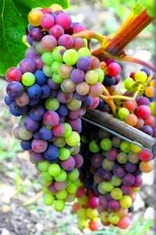 Amazing image of grapes at different stages of colour development - - love, love, love the colors!