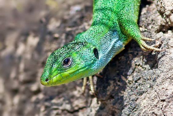 VISIT GREECE| balkan green lizard The wildlife of Greece #wildlife #Greece #nature #greengreece