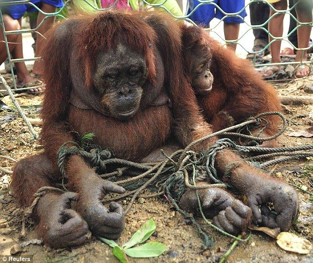 STOP BUYING PALM OIL. Rain forests cover 60 per cent of Indonesia, but orangutans - which means man of the forest - have seen their habitat cut down at an alarming rate, often to fuel the need for space to grow palm oil crops.  Many adult orangutans are killed by farmers in Indonesia and Borneo to prevent them eating crops as their natural food disappears, leaving helpless orphans to die in the wild.