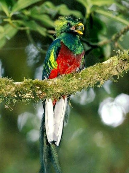 Dari www.anakcemerlang.com  Gambar Burung Quetzal