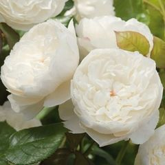 Rose 'William and Catherine' by David Austin. I'm not one for royal wedding memorabilia, in general, but this is such a beautiful rose. According to David Austin it opens a pale apricot, then fades to cream, then pure white - sounds fantastic. Myrrh fragrance. £16.49
