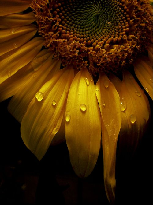s u n f l o w e r: Sunflowers, Art, Dew Drop, Yellow, Dewdrop, Natural, Water Droplets, Photography Flowers, Beautiful Flowers Photography