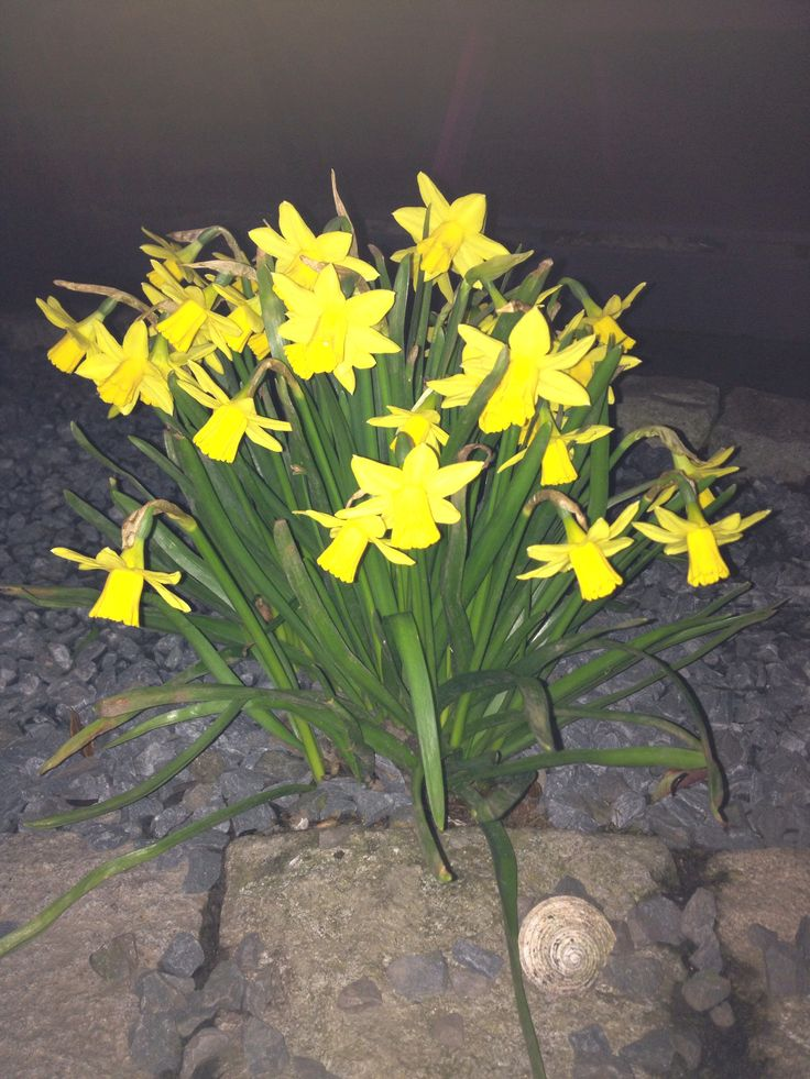 Daffs in the dark