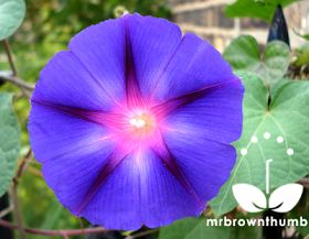 Blue morning glory flower, how to collect morning glory seeds