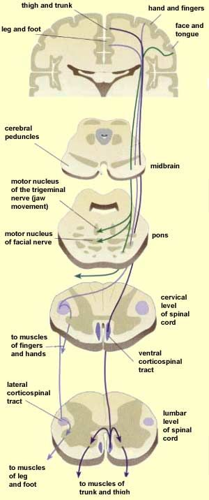 Corticospinal & corticobulbar tracts