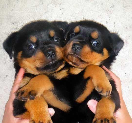 Vom Keiser Wappen Rottweilers German Rottweiler Puppies ...