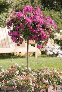 25 Best Rose Trees Ideas On Pinterest Knockout Rose