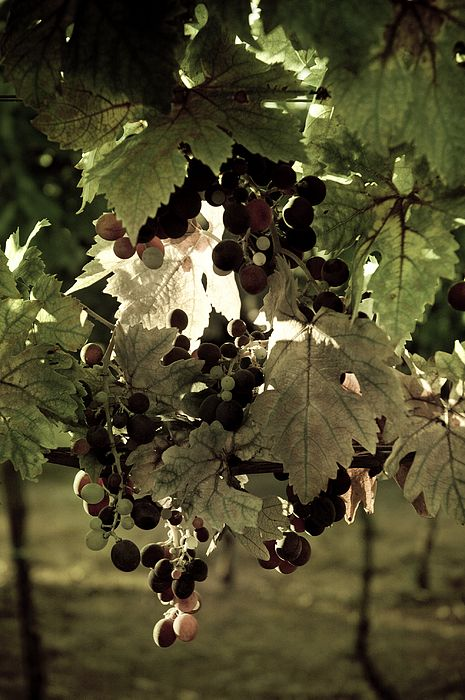Sunlight through the grape leaves at a vineyard in Chianti, Italy