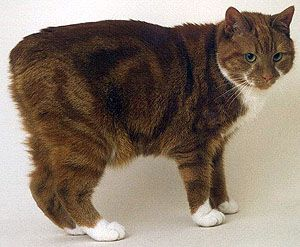 Manx Cat is a breed of domestic cat originating on the Isle of Man in the British Isles, with a naturally occurring mutation that shortens the tail. Many Manx have a small stub of a tail, but Manx cats are best known as being entirely tailless; this is the most distinguishing characteristic of the breed, along with elongated rear legs and a rounded head.