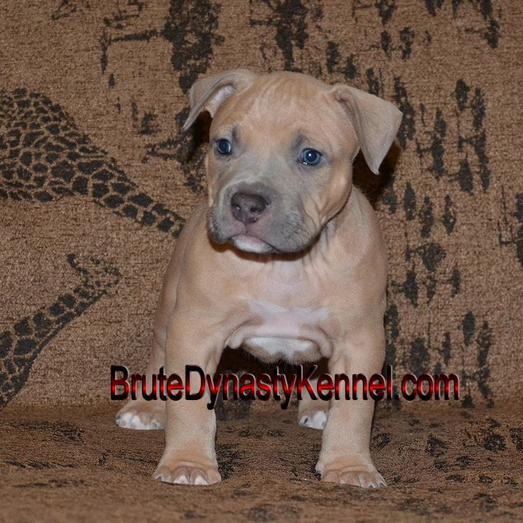 Amazing show quality Bully Pit Bull puppy with a beautiful Blue Fawn coat www.brutedynastykennel.com