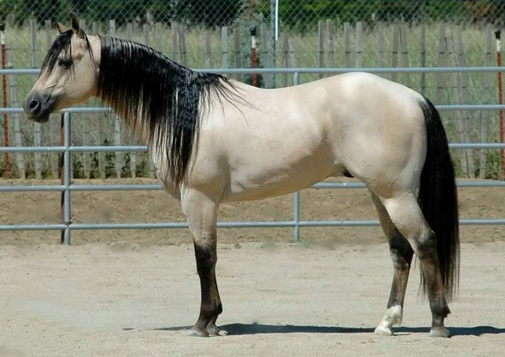 American quarter horse. A dreamy buttermilk buckskin, possibly dun buckskin. photo: Cassdy Cobarr.