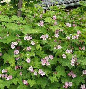 Rubus odoratus tuoksuvatukka