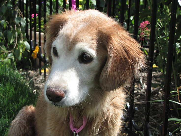This is Angela a 10 yr old Golden/Cocker mix. She was originally rescued from a bad situation and now is being surrendered due to a divorce. She is spayed, current on vaccinations, potty trained, good with dogs, cats and kids over age 10 yrs. She is the size of a 4 month old Golden - 25 lbs. GRr Resource, OH. - http://www.gr-rescue.org/golden_retrievers_for_adoption_8.html