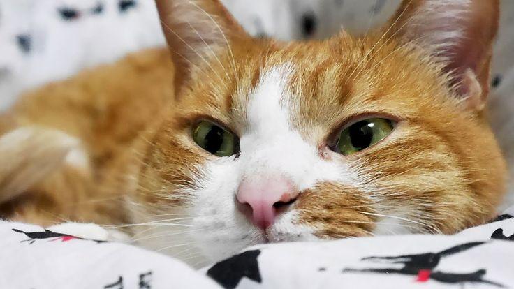 しっぽを振ってなごむ猫〜こたつ大好き♡ほっこり毛づくろい♪ -Cat loves Kotatsu. While the Mac warms; g...