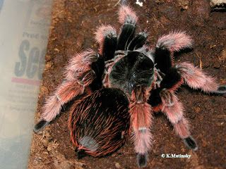 Mexican Pink Tarantula - Brachypelma klaasi - This tarantula is the rarest of the Brachypelma genus and belongs to the family Theraphosidae. It ranges from Tepic, Nayarit, in the north to Chamela, Salisco, in the south, with the largest known population at the biological reserve at Chamela