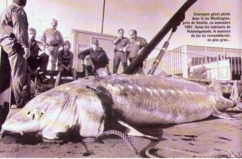 Big sturgeon - snopes.com
