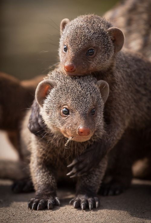 Mongoose siblings.    Photo byFrank Rønsholt