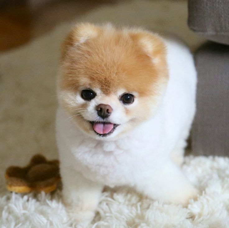 Teddy Bear Dog Haircut – Things to Consider When Getting Your Teddy Bear Groaned