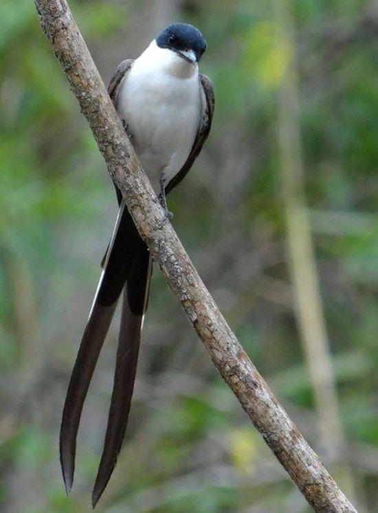 Aves Brasileiras  * Tesourinha *                                                                                                                                                      Mais
