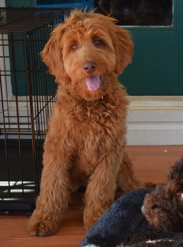 Trained Labradoodle puppies for sale, Trained Labradoodle breeders and Adult Labradoodles available, bordoodle puppies for sale, labradoodle puppies for sale