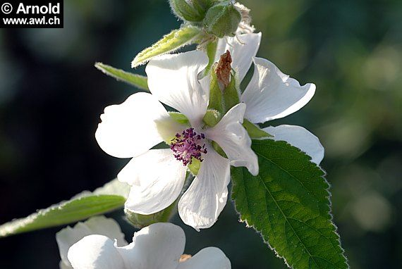 Althaea officinalis - Marshmallow