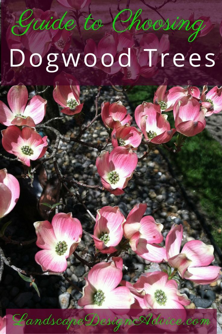 So many Dogwood trees! There are basically three kinds. What are they and which to choose? Find out.