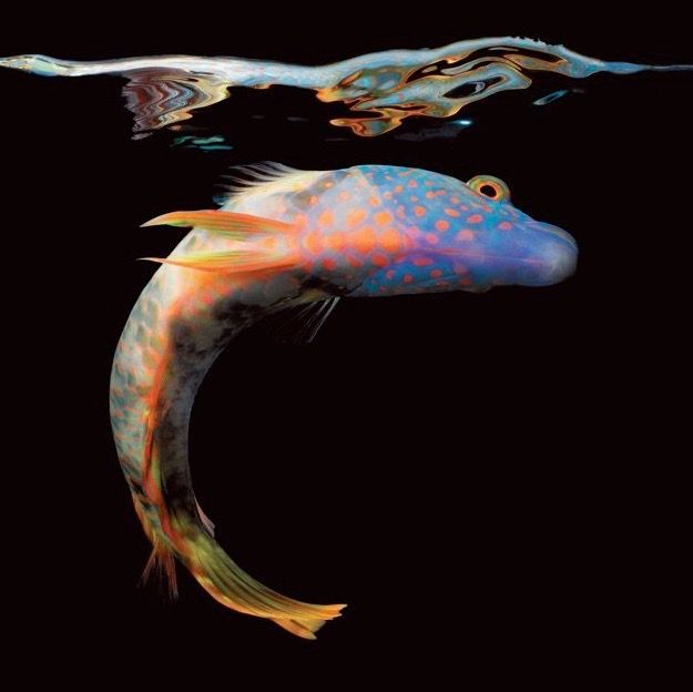 Les 9 meilleures images du tableau poissons moche sur - Poisson moche ...