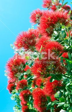 New Zealand Pohutukawa Royalty Free Stock Photo