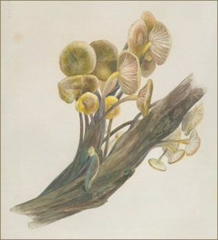 Beatrix Potter painted hundreds of watercolors of mushrooms, & some even included microscopic views of mycellia and spores