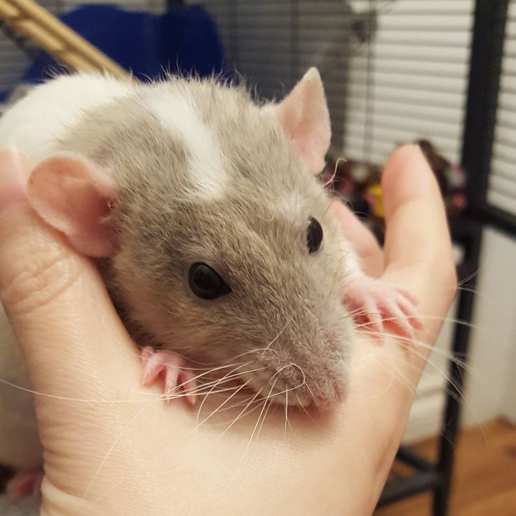 I noms your hand! #aww #cute #rat #cuterats #ratsofpinterest #cuddle #fluffy #animals #pets #bestfriend #ittssofluffy #boopthesnoot