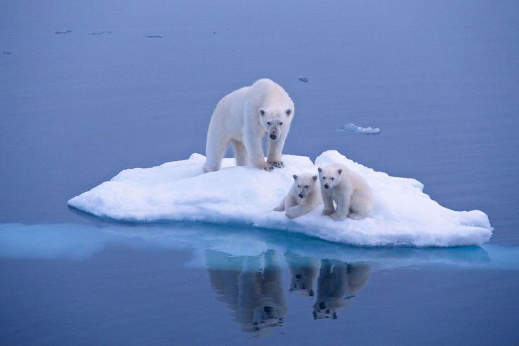 Les ours polaires esp ce menac e facebook animaux et for Nettoyer de la fonte