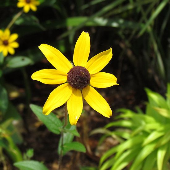 brown eyed susan - 550×550