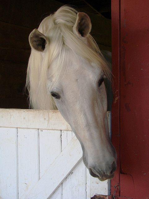 so dear looking!Red, Grey Horses, Dutch Doors, Children, White Horses, Pretty Horses, Hors Photos, Beautiful Creatures, Animal