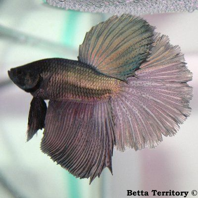 10+ images about Bettas on Pinterest | Copper, Auction and ...  10+ images abou...