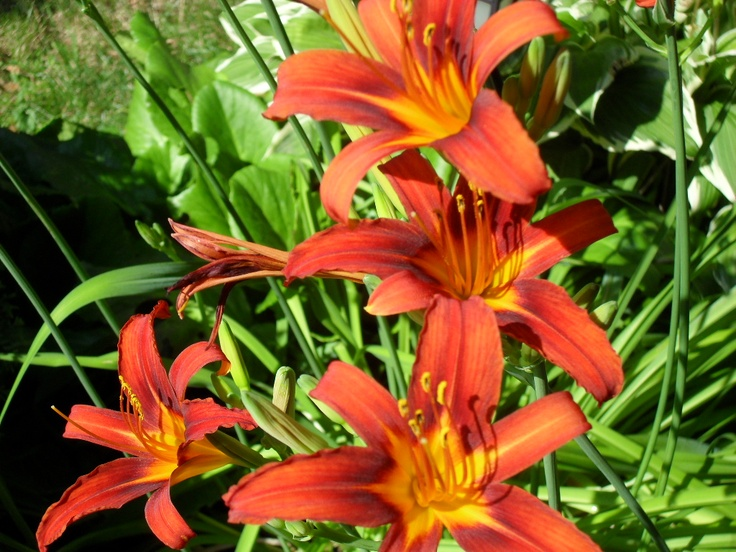 these lillies make my front yard colorful